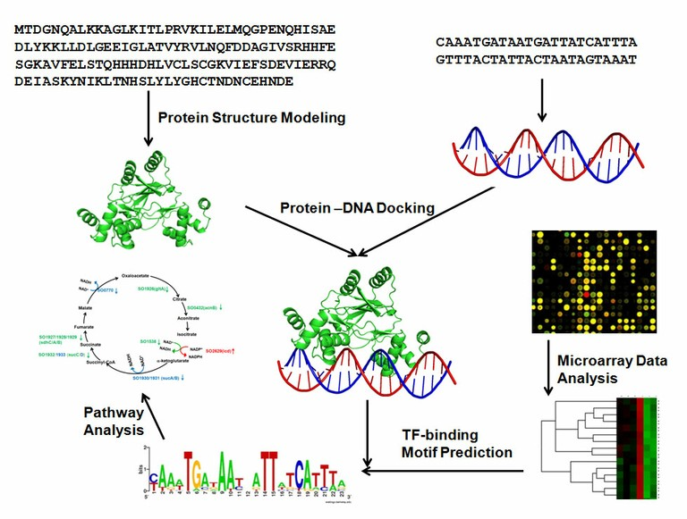 Protein Structure Modeling, Protein-DNA Docking, Pathway Analysis, TF-binding Motif Prediction